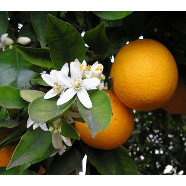 Citrus Appelsin