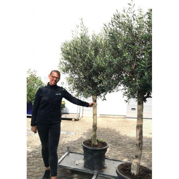 Olea (oliven) opstammet, 240 cm - TILBUD