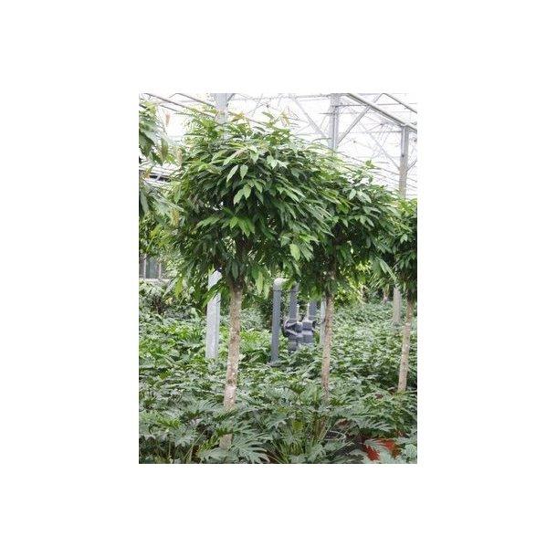 Ficus Amstel king, opstammet, 260 cm, flot krone