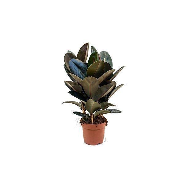 Ficus Elastica Abidjan (Ficus robusta)