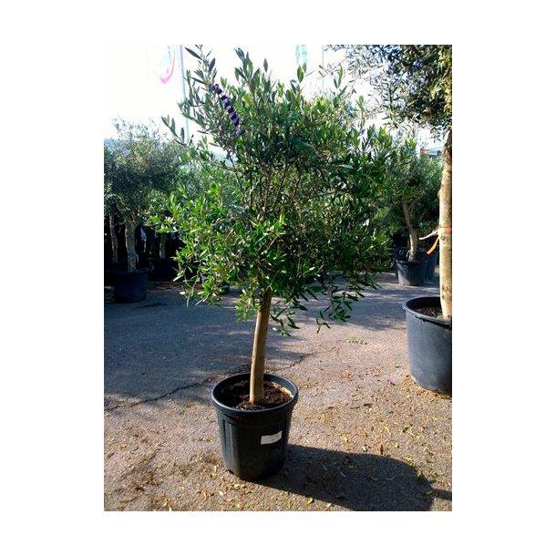 Olea (oliven)