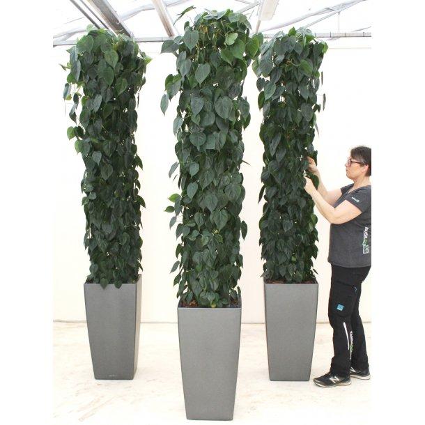 Philodendron scandens i Cubico, antracit, 40x40/75 cm, med hjul - 270-280 cm